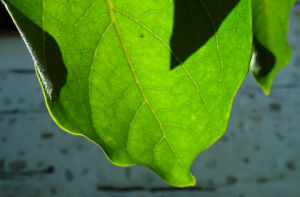 Kakibaum Blatt gruen Diospyros kaki 06