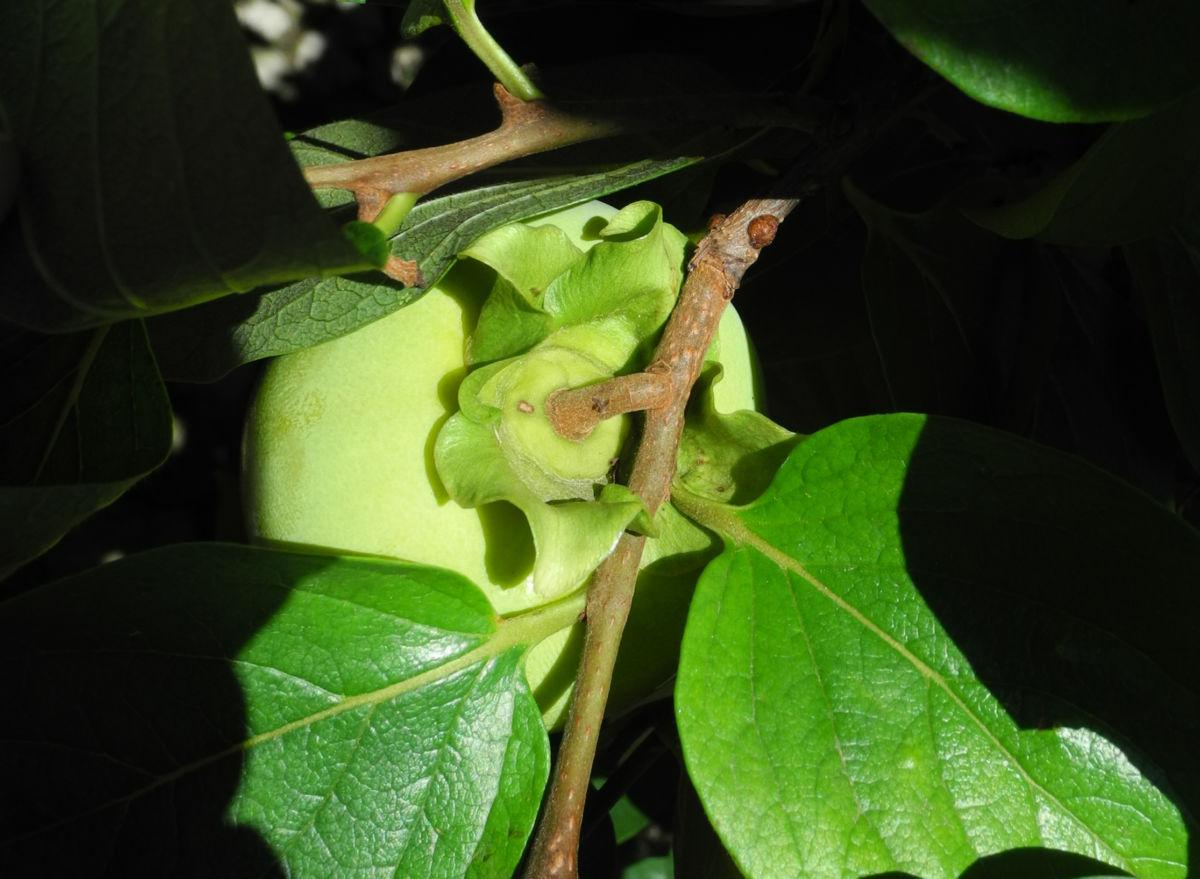 Kakibaum Frucht gruen Diospyros kaki