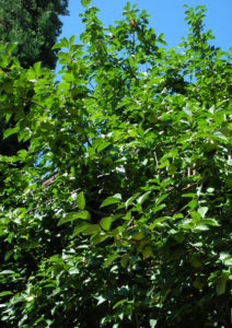 Bild: Kakibaum Frucht gruen Diospyros kaki