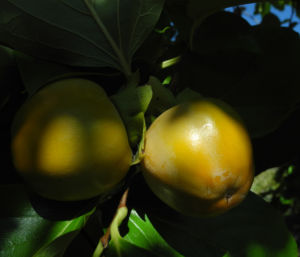 Kakibaum Frucht gruen Diospyros kaki 08