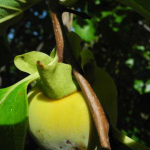 Kakibaum Frucht gruen Diospyros kaki 09