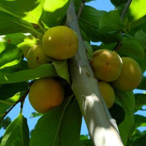Kakibaum Frucht gruen Diospyros kaki 10