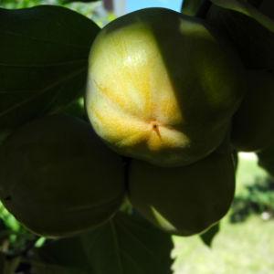 Kakibaum Frucht gruen Diospyros kaki 11