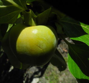 Kakibaum Frucht gruen Diospyros kaki 15