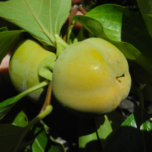 Kakibaum Frucht gruen Diospyros kaki 16