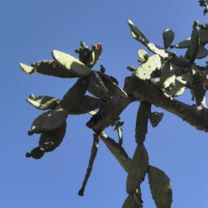 Kaktus Frucht rot Cactus 01