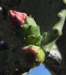 Kaktus Frucht rot Cactus 05