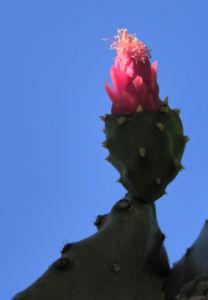 Kaktus Frucht rot Cactus 06