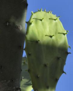 Kaktus Frucht rot Cactus 07