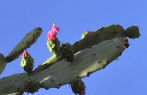 Kaktus Frucht rot Cactus 08