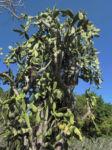 Bild: Kaktus Frucht rot Cactus