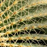 Kaktus Schwiegermuttersessel gruen Stacheln Echinocactus grusonii 02