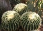 Kaktus Schwiegermuttersessel gruen Stacheln Echinocactus grusonii 04