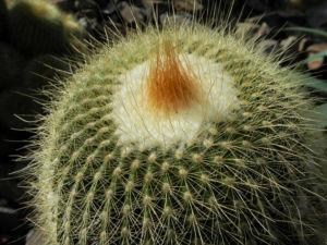 Kaktus Parodia lenninghausiii 04