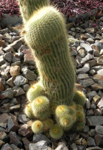 Kaktus Parodia lenninghausiii 06