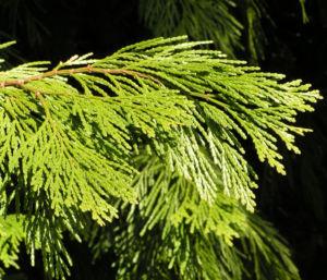 Kalifornische Flusszeder Baum Blaetter gruen Calocedrus decurrens 02