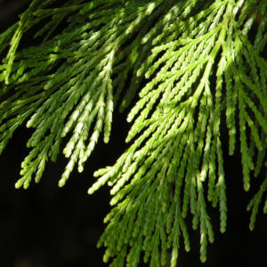 Kalifornische Flusszeder Baum Blaetter gruen Calocedrus decurrens 04