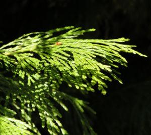Kalifornische Flusszeder Baum Blaetter gruen Calocedrus decurrens 06