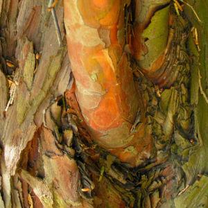 Kalifornische Flusszeder Baum Blaetter gruen Calocedrus decurrens 07