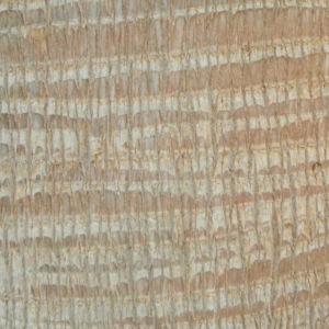 Kalifornische Washingtonpalme Rinde Palm Wedel Washingtonia filifera 02
