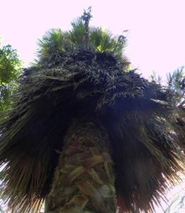 Kalifornische Washingtonpalme Rinde Palm Wedel Washingtonia filifera 05