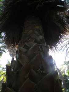 Kalifornische Washingtonpalme Rinde Palm Wedel Washingtonia filifera 06