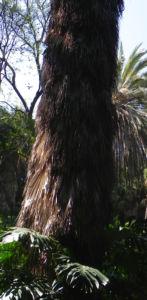 Kalifornische Washingtonpalme Rinde Palm Wedel Washingtonia filifera 07