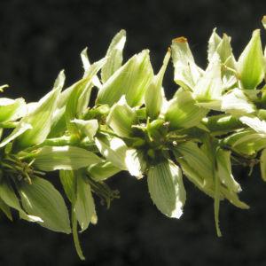 Kalifornischer Germer Blueten weiss Veratrum californicum 09
