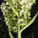Zurück zum kompletten Bilderset Kalifornischer Germer Blüten weiß Veratrum californicum