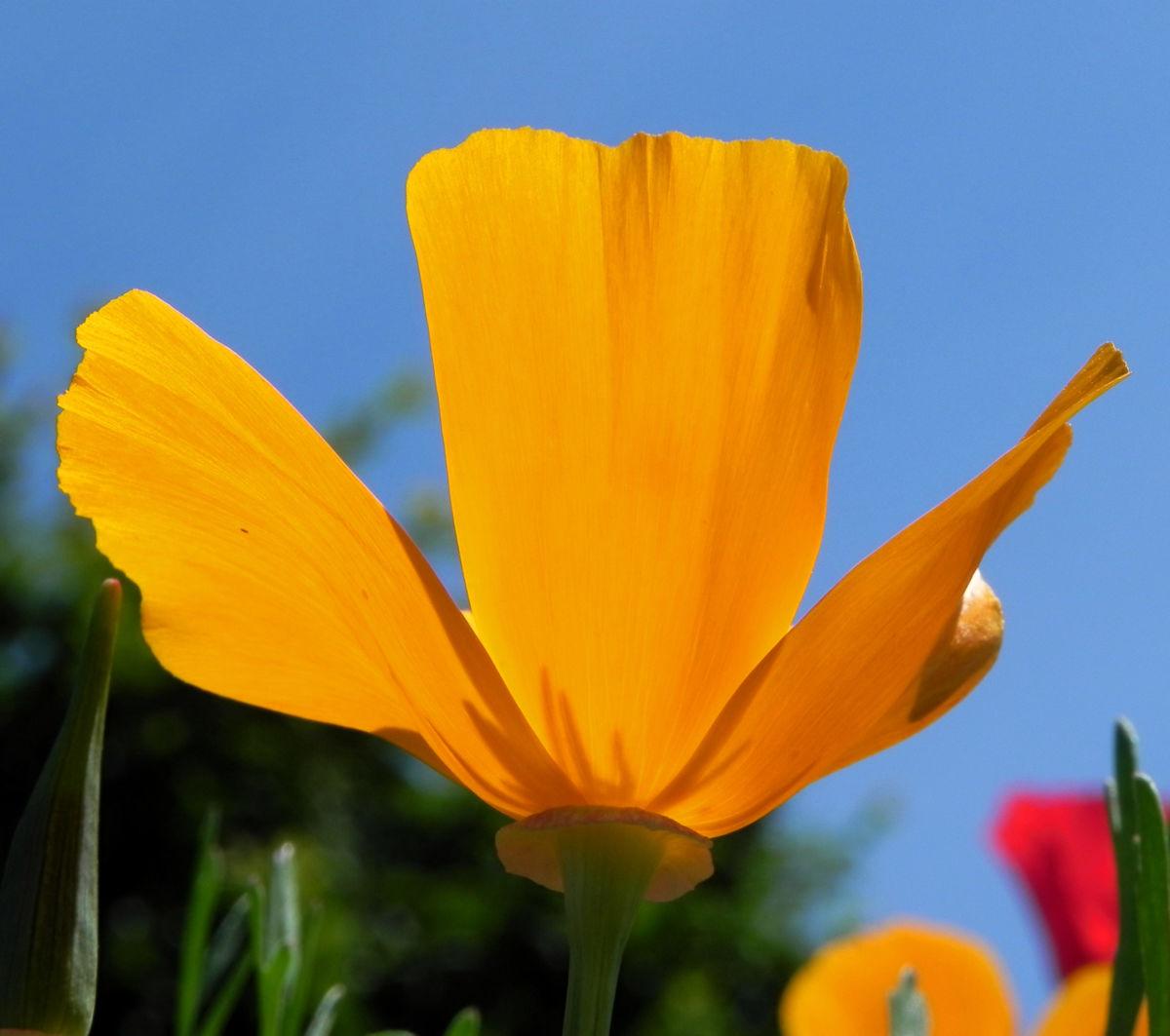 Kalifornischer Mohn Bluete orange Goldmohn Eschscholzia californica