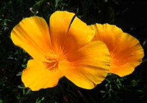 Kalifornischer Mohn Bluete orange Goldmohn Eschscholzia californica 09