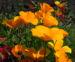 Zurück zum kompletten Bilderset Kalifornischer Mohn Blüte orange Goldmohn Eschscholzia californica