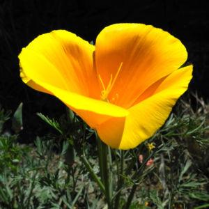 Kalifornischer Mohn Bluete orange Eschscholzia californica 06