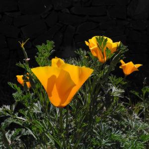 Kalifornischer Mohn Bluete orange Eschscholzia californica 07