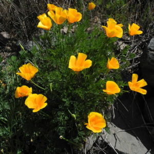 Kalifornischer Mohn Bluete orange Eschscholzia californica 09