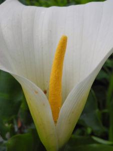 Kalle Bluete weiß Zantedeschia aethiopica02