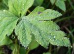 Kambrischer Scheinmohn Blatt gruen Meconopsis cambrica 04