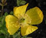 Kambrischer Scheinmohn Bluete gelb Meconopsis cambrica 02