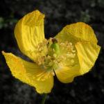 Kambrischer Scheinmohn Bluete gelb Meconopsis cambrica 05