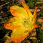 Kambrischer Scheinmohn Bluete gelb Meconopsis cambrica 13