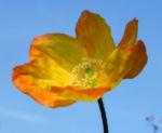 Bild: Kambrischer Scheinmohn Blüte gelb Meconopsis cambrica