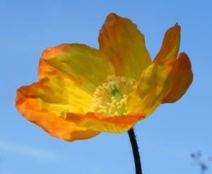 Kambrischer Scheinmohn Blüte gelb Meconopsis cambrica
