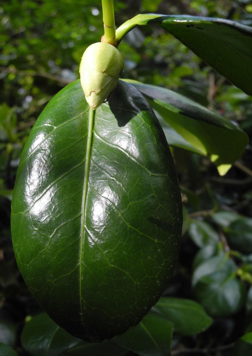 Kamelie Blatt gruen Camellia japonica