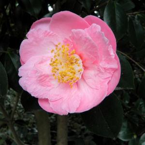 Kamelie Bluete pink Camellia japonica 06