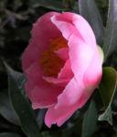 Kamelie Bluete pink Camellia japonica 08