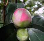 Kamelie Bluete pink Camellia japonica 10