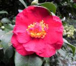 Kamelie Bluete pink Camellia japonica 14