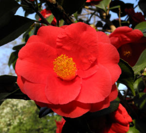 Kamelie Bluete rot Camellia japonica 03