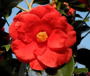 Kamelie Bluete rot Camellia japonica 05