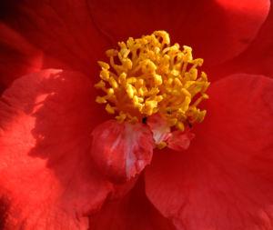 Kamelie Bluete rot Camellia japonica 07